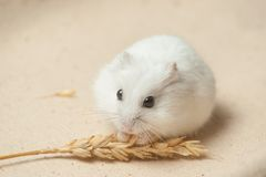 Hamster eat a seed. Royalty Free Stock Photos
