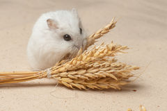 Hamster eat a seed. Royalty Free Stock Images