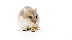 Hamster eating. One Dzhungarian Hamster (Phodopus Sungorus) is eating sunflower seed Stock Images