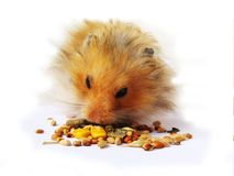 Hamster eating. Seeds isolated over white background Royalty Free Stock Photos