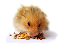 Hamster eating. Seeds isolated over white background Royalty Free Stock Image