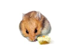 Hamster Eating Bread. A cute brown hamster nibbling on a piece of bread Royalty Free Stock Photography