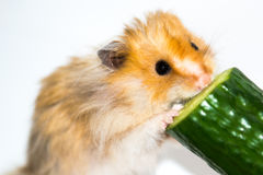 Hamster (Cricetus) eating cucumber Stock Images