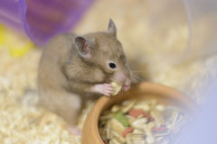 Hamster eating. A Hamster Eating food in a bowl Royalty Free Stock Photo
