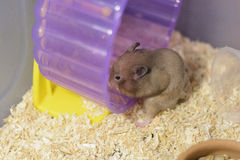Hamster eating. A Hamster Eating food in a bowl Royalty Free Stock Photography