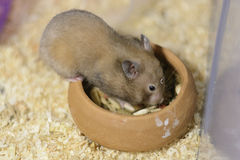 Hamster eating. A Hamster Eating food in bowl Royalty Free Stock Photo