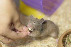 Hamster eating. A Hamster Eating food in hand Royalty Free Stock Photo