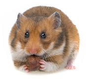 Hamster eating a nut Royalty Free Stock Photos