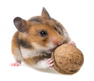 Hamster eating nut Royalty Free Stock Images