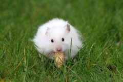 Hamster eating a peanut Stock Photos
