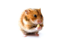 Hamster eating piece of banana isolated on white background Stock Photos
