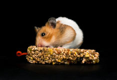 Hamster eating treat bar. Female hamster with full cheeks, eating her favourite treat bar. Black background stock photography