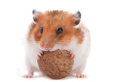 Hamster eating wallnut Royalty Free Stock Image