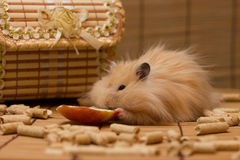 Hamster eats an apple Royalty Free Stock Image