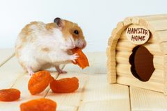A hamster eats dried apricots near his house. A hamster eats dried apricots near his wooden house Royalty Free Stock Photos