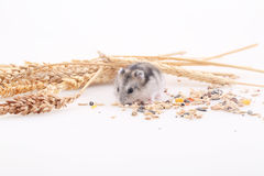 The hamster eats a forage in an environment of ears on a white b. Ackground royalty free stock image