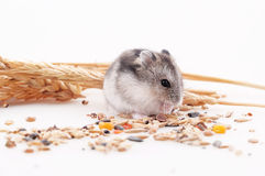 The hamster eats a forage in an environment of ears on a white b. Ackground royalty free stock photography