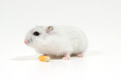 Hamster eats grain Stock Photos