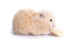 Hamster eats Stock Photography