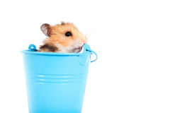 Hamster in een decoratieve emmer Stock Foto