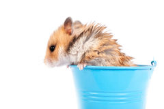 Hamster in een decoratieve emmer Stock Fotografie