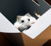Hamster in een doos Royalty-vrije Stock Afbeelding