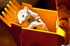 Hamster in een graafwerktuigemmer Stock Foto's