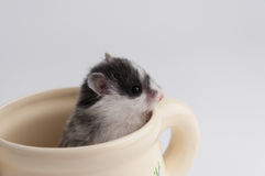 Hamster in een pot Stock Foto's