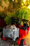 Hamster in een Vorkheftruckdoos Stock Foto