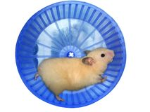 Hamster in een wiel royalty-vrije stock afbeeldingen