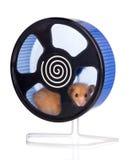 Hamster in een wiel stock fotografie