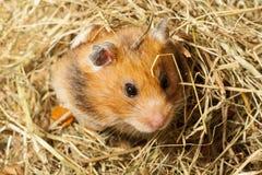 Hamster in einem Heu. Stockbilder
