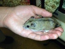 Hamster in einer Hand Stockbilder
