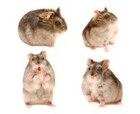 Hamster em poses diferentes Fotografia de Stock