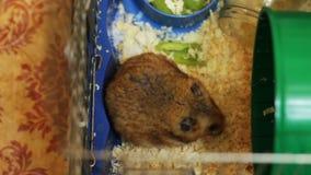 Hamster em uma gaiola video estoque