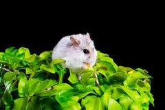 Hamster em uma planta Imagem de Stock