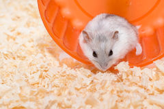 Hamster emotionally lonely Royalty Free Stock Photography