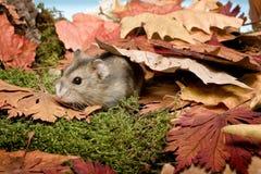 Hamster en automne Photos libres de droits