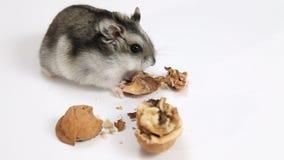 Hamster en okkernoot