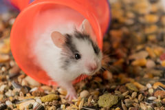 Hamster en voedsel Stock Fotografie