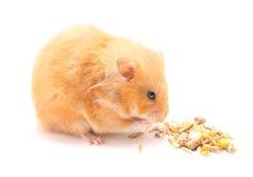 Hamster engraçado Fotos de Stock Royalty Free