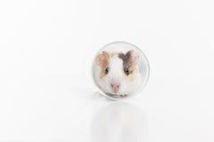 Hamster engraçado que senta-se no vidro no fundo branco Fotos de Stock Royalty Free
