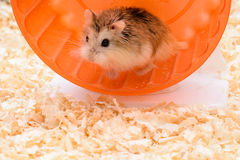Hamster enthusiasts treadmill Stock Images