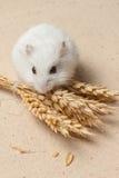 Hamster essen einen Samen Stockbilder