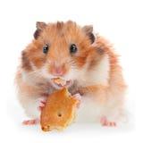 Hamster essen Plätzchen Lizenzfreie Stockfotografie