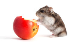 Hamster et pomme Photographie stock
