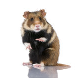 Hamster europeu de encontro ao fundo branco Fotos de Stock