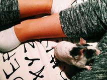 Hamster fêmea Imagem de Stock