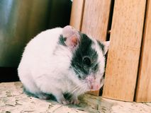 Hamster fêmea Imagens de Stock