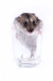 Hamster and faceted glass Royalty Free Stock Photography